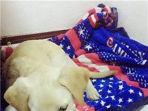 拉布拉多四个月男孩子求爱狗人士领养