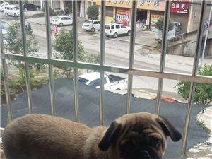 家里的宝贝犬丢失
