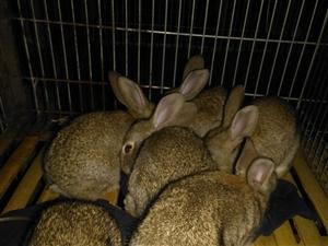 杂交野兔苗