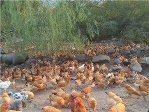 常年銷售土雞,土雞蛋