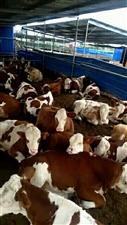 出售3-8个月龄的西门塔尔牛,公母都有,...