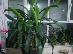 室内绿植一盆,高度1.2