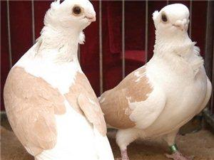 各种肉鸽观赏鸽