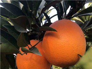 上新品纽荷尔橙甜度:15°外观:鲜红靓丽规格:五斤约10~12个34元包邮,九