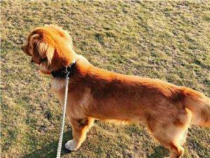 寻找爱犬金毛