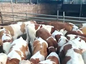 山西出售大小肉牛犊