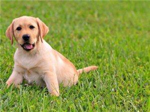 【求购】幼犬一条,拉布拉多犬或阿拉斯加犬都可以