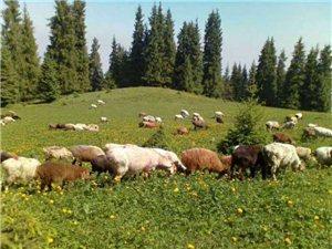 純放養的山羊和綿羊