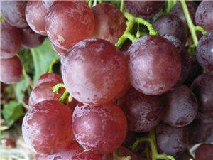 新鲜葡萄采摘