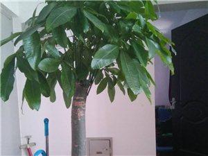 2棵发财树,高1.6米周浇水2次,极易管...