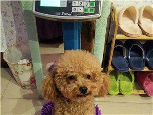 小泰迪狗。笨笨,在鲁中文化城北街跑丢了。有看到的联系本人13792295799.朋友帮忙转发,必有重