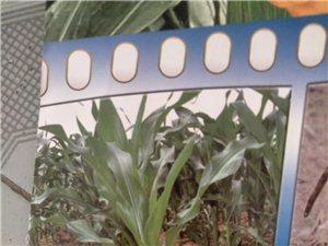 东亚种业富友968玉米种促销活动