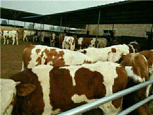 致富養殖,首選肉牛
