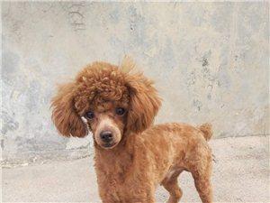 出售泰迪狗一只