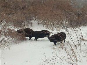 生态散养黑猪