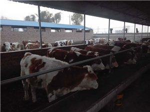 出售大小肉牛