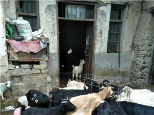 散养黄牛,黑、白山羊肉