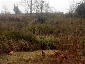 散養鄉村跑山雞