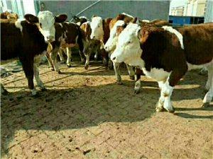 致富养殖肉牛首选