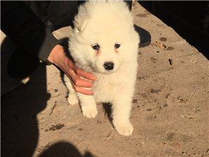 出售萨摩耶小狗狗一条,四十几天了。