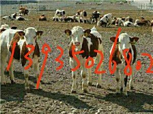 出售品种肉牛西门塔尔,夏洛莱,利木赞。提供养殖技术,免费送货,欢迎光临选购。致富热线:1393502...