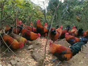 长期销售黑脚放养鸡