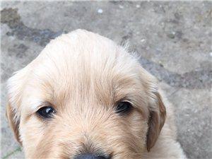 純種金毛犬