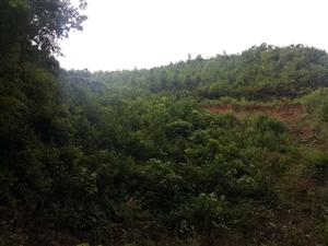 红豆杉种植基地长期澳门新葡京