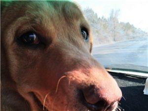 狗狗在一月20日下午在北環新起點幼兒園走丟,名字叫