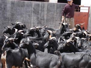 生态山羊养殖基地
