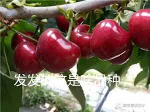 出售樱桃树苗