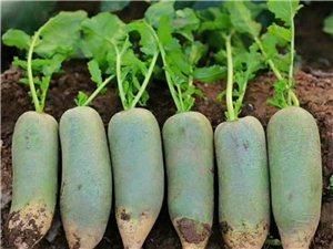 东北黏糯玉米、天津卫青沙窝萝卜