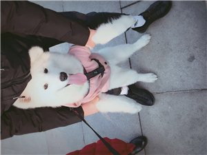 自家狗狗丟失,薩摩耶,6個月左右,丟失是穿粉色米奇