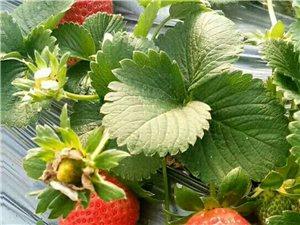 通许县厉庄乡草莓园
