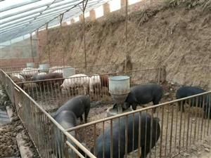 传统土猪圈,纯粮饲养。