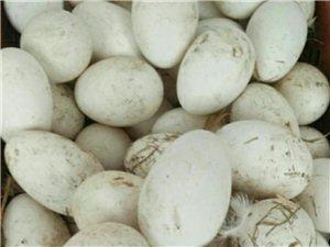 自家纯天然散养鹅蛋