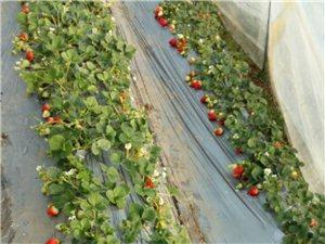 草莓~草莓