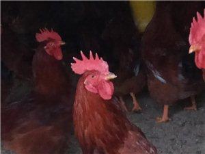 出售自家养殖的大红玉公鸡