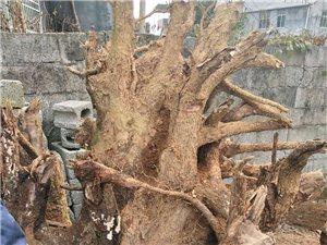 家有香樟树底部一段,可用于茶具雕刻,艺术雕刻,大型摆件等,有兴趣的朋友可以联系13163931127