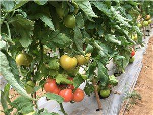 米易番茄售賣