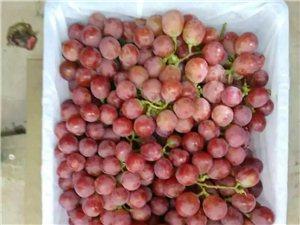 十工村无公害红提葡萄