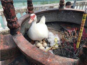 石盆看到的!鸭子香炉上孵蛋