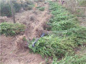 南康基地直銷果樹苗,綠化苗木,免費提供種植技術