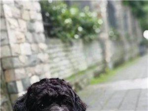寻黑色泰迪小爱犬