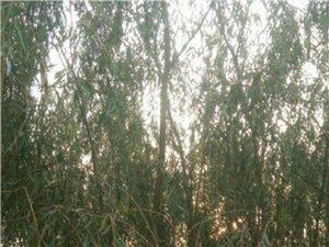 出售107速生杨树苗,国槐树树苗,垂柳树苗。