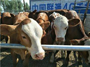 肉牛养殖合作社出售肉牛,品种有夏洛莱,利木赞,西门塔尔牛犊,品种纯,价格低,咨询热线:1573500...