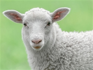 出售绵羊,黑头羊(少)数量20只羊左右,因家中有事,没法喂养,低价出售,价格面议,电话―151665...