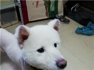 6个月大萨摩耶犬