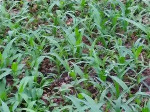 紫花三叉大白及種苗出售
