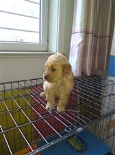 金毛幼犬,工作忙,顾不上。